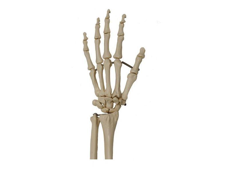 menselijk skelet heupgewricht